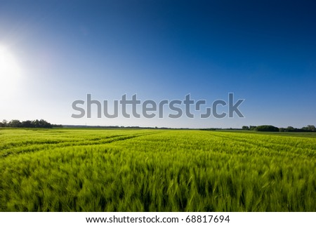The picture shows a field of grain (barley) and a blue sky. - stock photo