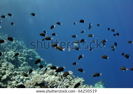 The picture shows a lot of fishes, swimming around coral reef, in the water of Red Sea, Egypt, near Dahab town.