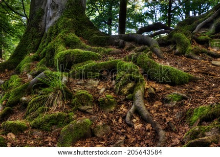 The picture shows the roots of trees that are covered in moss. - stock photo