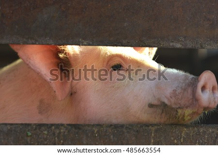 The pig looks out from a wooden barn in the countryside