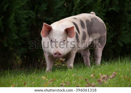 The pig on the meadow  - stock photo