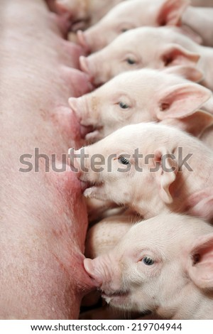 The piglets are suckling sow - stock photo