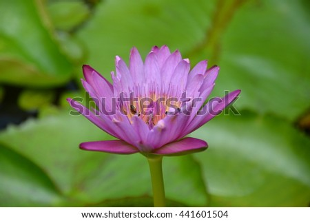 the pink blooming lotus and bee in closeup - stock photo