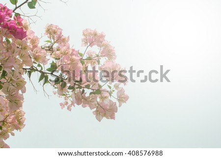 The pink bougainvillea with the sun light effect