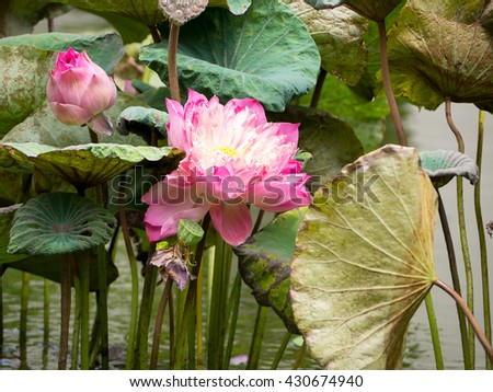 The Pink Lotus - stock photo