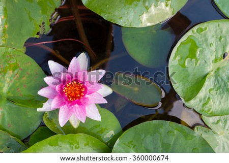 The pink lotus flower in the peaceful pond,Top view.