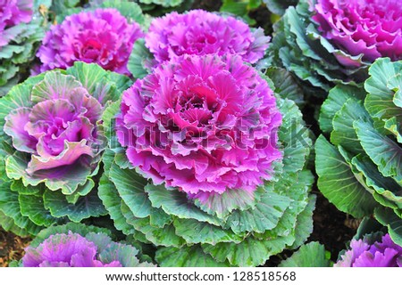 the pink purple of cabbage flower - stock photo