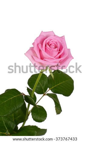 The pink rose on a white background
