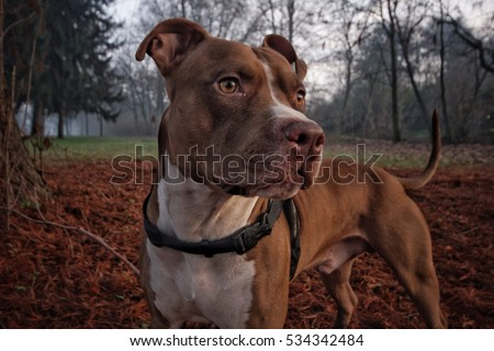 Pitbull the pitbull dogs are details my pitbull in a sweet animal payful loyal voltagebd Image collections