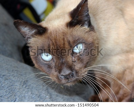 The placid chocolate brown tonkinese cat has pale blue eyes and  darker pointed markings. - stock photo