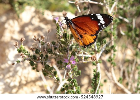 The Plain Tiger butterfly, Danaus chrysippus, feeding in the Petra Gorge on the north coast of Crete.