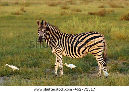 The plains zebra (Equus quagga, formerly Equus burchellii), also known as the common zebra or Burchell's zebra in the sunset
