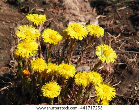 The plant Coltsfoot blooming in the spring