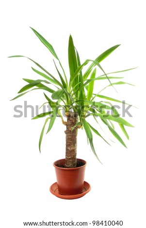 the plant in a pot, is isolated on the white - stock photo