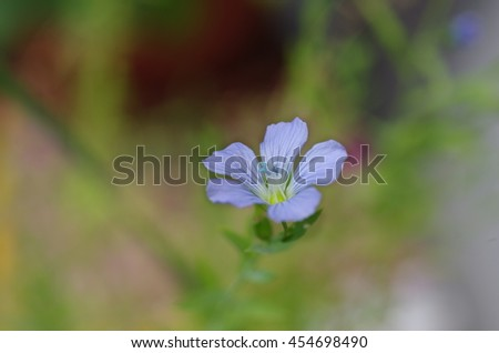 the plant of flax with blue flower - stock photo