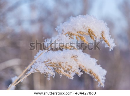 The plant on a meadow is covered by frosty hoarfrost