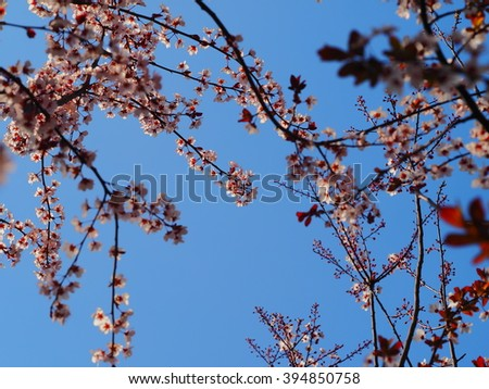 The plum blossoms in the garden with the warm sunlight