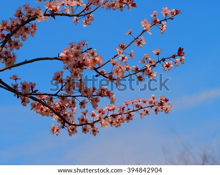 The plum blossoms in the park with the blue sky