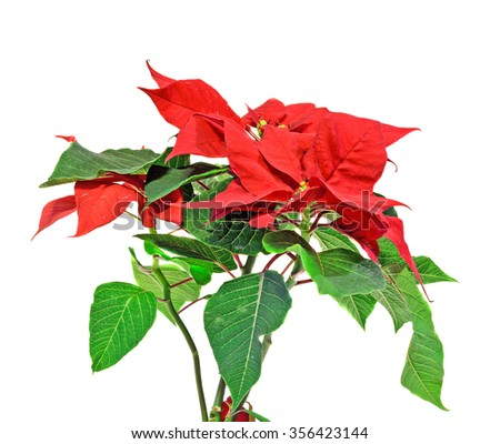 "The poinsettia (Euphorbia pulcherrima) with red and green foliage, Christmas floral displays. White background. In romanian called ""Craciunita"" or ""Steaua Craciunului""."