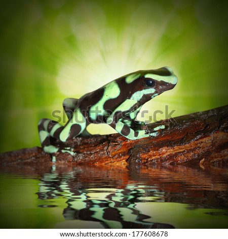The poison dart frog in a rainforest. Close up with shallow DOF.  - stock photo
