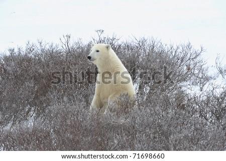 The polar bear  has half-risen on hinder legs and smells air. - stock photo
