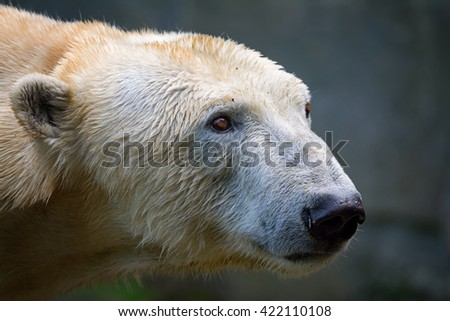 The polar bear (Ursus maritimus) beautiful animals in the pictures