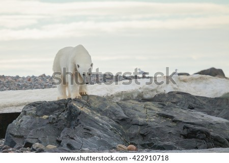 The polar bear (Ursus maritimus) is a carnivorous bear whose native range lies largely within the Arctic Circle - stock photo
