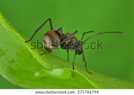 the Polyrhachis wolfi, a golden ant resting on the leaf