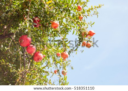 the pomegranate tree with fruits on branches, Greece, Halkidiki