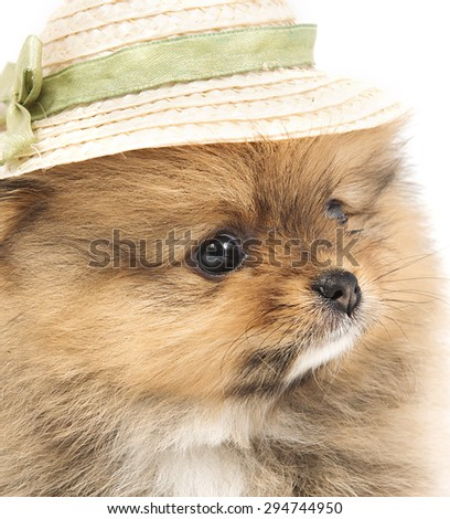 The Pomeranian puppy with a funny hat - stock photo
