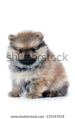 The pomeranian spitz puppy isolated on white