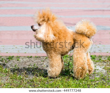 The Poodle in profile stands on the green grass.