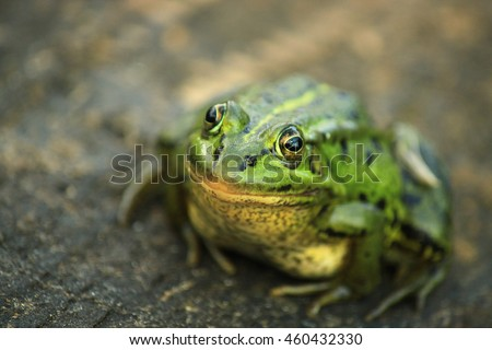The pool frog (Pelophylax lessonae)