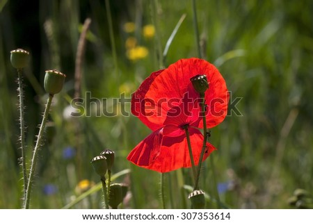 the poppies - stock photo