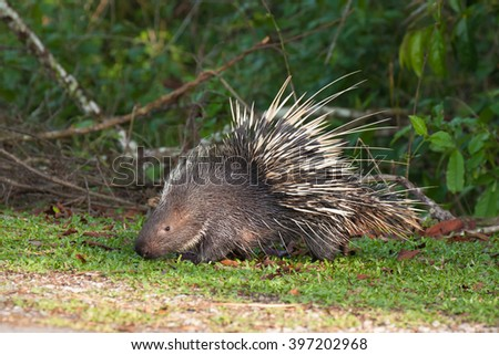 The porcupine seek a food on the grass - stock photo