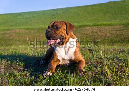 the portrait  a brown dog breed the german boxer lies on a grass in the solar evening, long ears