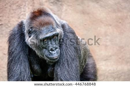 The portrait of a big gorilla  - stock photo