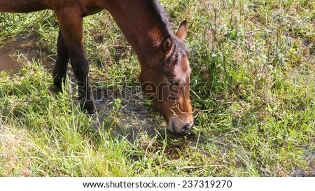 the portrait of drinking brown horse in river