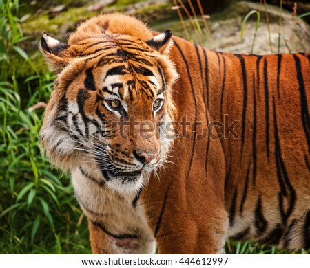 The portrait of Malayan tiger