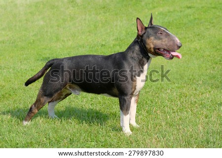 The portrait of Miniature Bull Terrier in the garden - stock photo