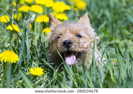 The portrait of Norwich Terrier in a garden - stock photo