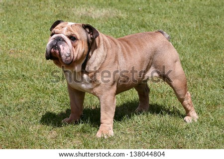 The portrait of Old English Bulldog in the garden - stock photo