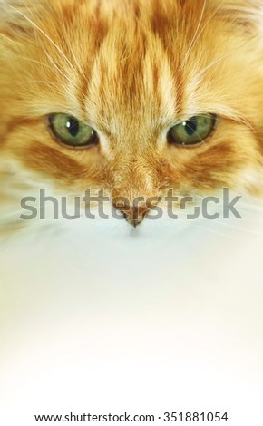The portrait of red cat isolated on a white. - stock photo