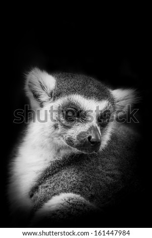 The portrait of Ring- tailed Lemur( Lemur catta)