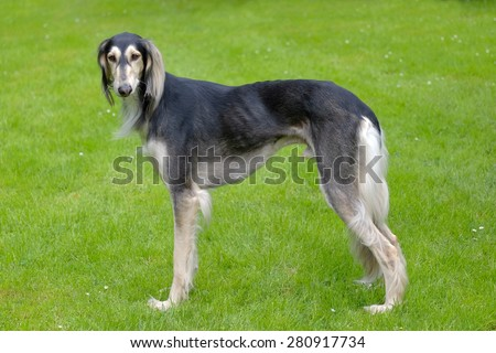 The portrait of Saluki dog in the garden - stock photo