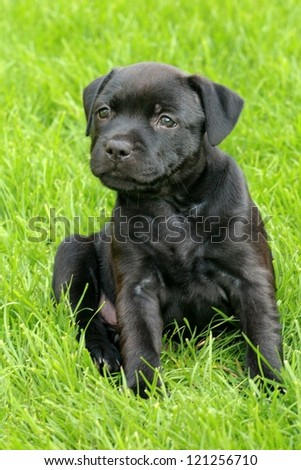 The portrait of Staffordshire Bull Terrier puppy in exterior - stock photo