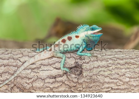 The portrait of wild lizard (BLUE-CRESTED LIZARD) on the tree - stock photo