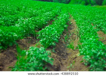 The potato field, equal furrows with potatoes - stock photo