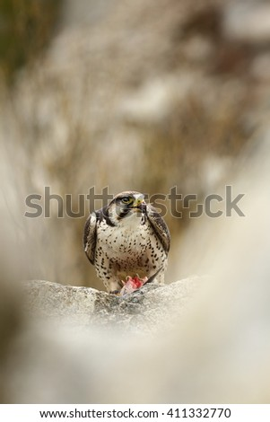 The Predator is the human care and was photographed in the Czech Republic. Lanner Falcon  is a large bird of prey living in Africa, southeastern Europe and Asia. - stock photo