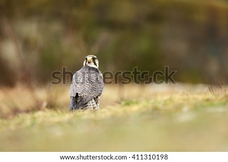 The predator was photographed in the Czech Republic. The Predator is human care. Lanner Falcon is a large bird of prey living in Africa, southeastern Europe and Asia.  - stock photo